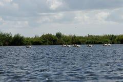 Danube Delta pelicans royalty free stock photos