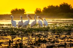 Danube Delta Pelicans at sunset on Fortuna Lake. Wildlife birds and birdwatching photography in the Danube Delta, Eastern Europe, Romania royalty free stock photos