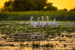 Danube Delta Pelicans at sunset on Fortuna Lake. Wildlife birds and birdwatching photography in the Danube Delta, Eastern Europe, Romania stock image
