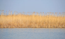 Danube delta reed. With water and clear blue sky Stock Images