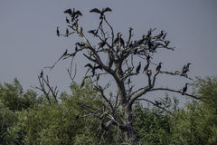 Danube delta, romania, europe, tree of cormorants Royalty Free Stock Images