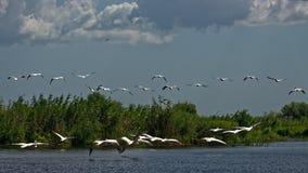 Danube delta in Romania. A flock of pelicans in the air over Danube delta in Romania stock images