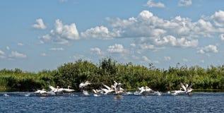 Danube delta in Romania. A flock of wild pelicans on Danube delta in Romania royalty free stock photo