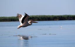 Danube Delta, Romania. Pelicans in Danube Delta, Romania Royalty Free Stock Photos