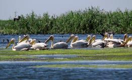 Danube Delta, Romania. Pelicans in Danube Delta, Romania Stock Photo