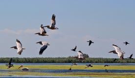 Danube Delta, Romania. Pelicans flying in Danube Delta, Romania Stock Image