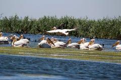 Danube Delta, Romania. Pelicans flying in Danube Delta stock photo