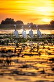 Danube Delta, Romania. Pelicans at sunrise. In Danube Delta stock photo