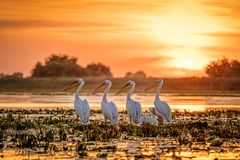 Danube Delta Romania Pelicans at sunset on Lake Fortuna. Wildlife birds and birdwatching photography in the Danube stock photo
