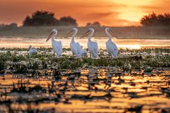 Danube Delta Romania Pelicans at sunset on Lake Fortuna stock photos