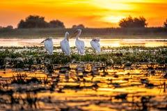 danube delta romania Pelikan på soluppgången arkivfoto