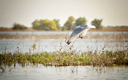 Danube Delta seagull. Danube Delta landscape with a flying seagull royalty free stock photography
