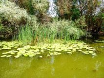 Danube Delta sightseeing. Water, water lily, trees Stock Photo