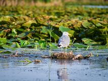 Danube delta, Tulcea, Rumunia Obrazy Stock