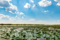 Danube Delta Vegetation and wildlife. Scenery from the wilderness of Danube Delta, blue sky, vegetation and wildlife, raw nature royalty free stock photos