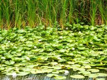 Danube Delta. Water lily; water; trees vegetation Royalty Free Stock Photos