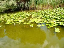 Danube Delta. Water lily; water; trees vegetation Stock Photography