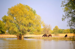 Danube Delta wild horses. Danube Delta landscape with wild horses stock photos