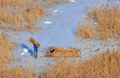 Danube delta in winter. A reed worker in the danube delta during winter time carrying reed Royalty Free Stock Image