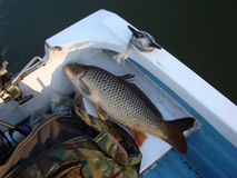 Danube dziki karp zdjęcia royalty free