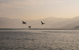 Danube river with flying birds Royalty Free Stock Images
