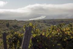 Danube River och rader av vingården, innan att skörda Royaltyfria Foton