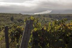 Danube River och rader av vingården, innan att skörda Royaltyfri Foto