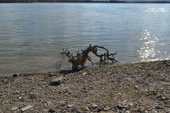 On the Danube. Roots of trees by the water. The water is calm. The Danube flows quiet stock image