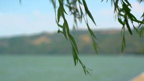 Danube In The Summer With Willow Tree. Super 35mm Camera - Peaceful Look At The Danube Bay From Donji Milanovac Towards Romania Border Willow Tree With Wind stock footage