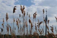Danubetower hinter Schilf lizenzfreie stockbilder