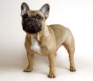 Danya. Bulldog Stock Images