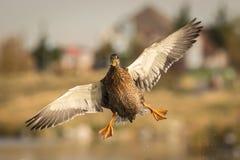 Danza aérea del pato silvestre Imagen de archivo libre de regalías