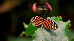 Danza de acoplamiento de la mariposa ningún pesar metrajes