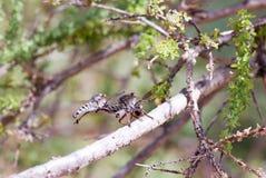 Danza de la mosca de ladrón Fotografía de archivo