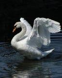 Danza del cisne Foto de archivo libre de regalías