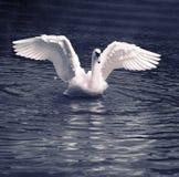 Danza del cisne Imágenes de archivo libres de regalías