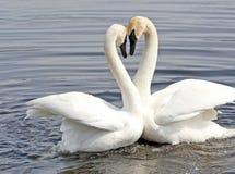 Danza del cortejo de dos cisnes Imagen de archivo