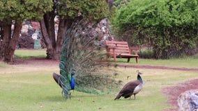 Danza masculina y femenina del cortejo del pavo real en distancia del parque metrajes