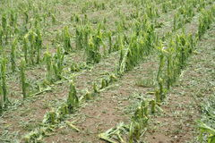 Daño del granizo en el maíz Fotografía de archivo libre de regalías