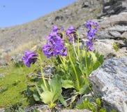 Daonensis Primula Стоковое Изображение RF
