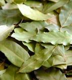 daphne βγάζει φύλλα Στοκ φωτογραφία με δικαίωμα ελεύθερης χρήσης