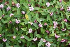 Daphne-Blumen stockfotografie