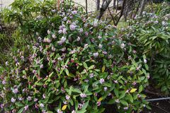Daphne-Blumen lizenzfreies stockbild