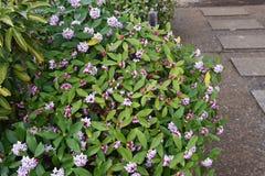 Daphne-Blumen stockbilder