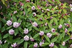 Daphne-Blumen lizenzfreie stockfotos