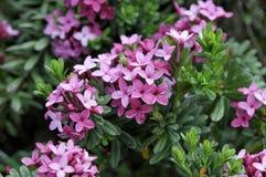 Daphne cneorum Royaltyfria Foton