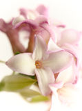 Daphne Flowers. Close-up of beautiful, velvety Daphne flowers tinged with pink edges Stock Image