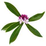 Daphne Flower Isolated sur le blanc Photo libre de droits