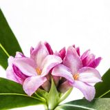 Daphne Flower Isolated on White Royalty Free Stock Photos