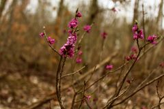 Daphne i skogen arkivfoto